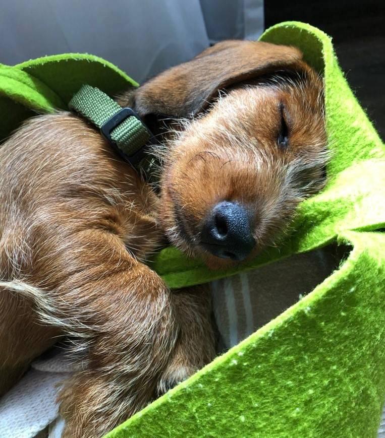schlafender Hund (2)