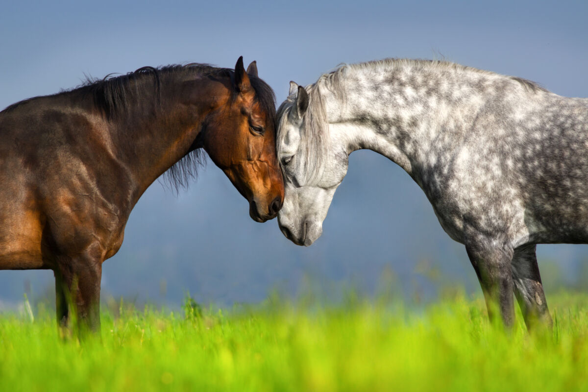 Couple of horse portrait in green spring pasture. Horse communication